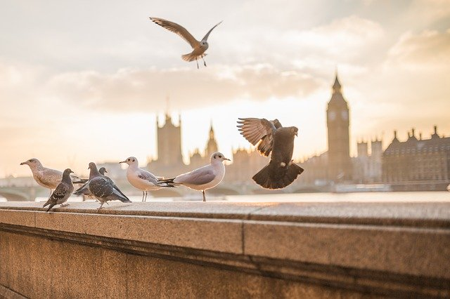 pigeons on a wall across the River Thames from Big Ben